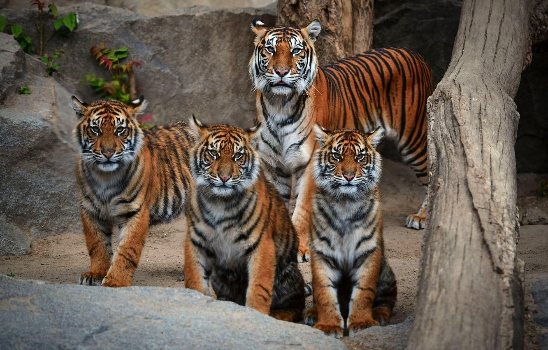 Тигрята на рабочий стол картинки (18)