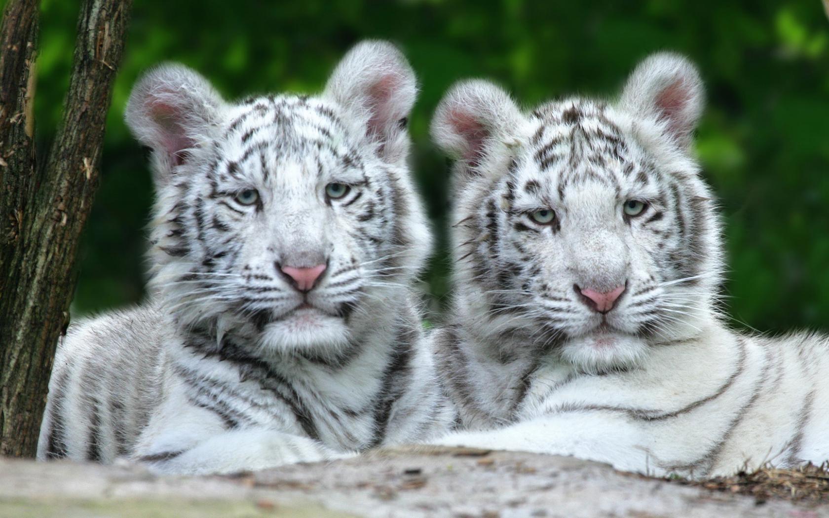 Тигрята на рабочий стол картинки (19)
