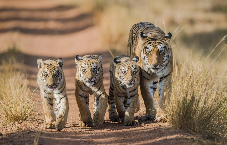 Тигрята на рабочий стол картинки (2)