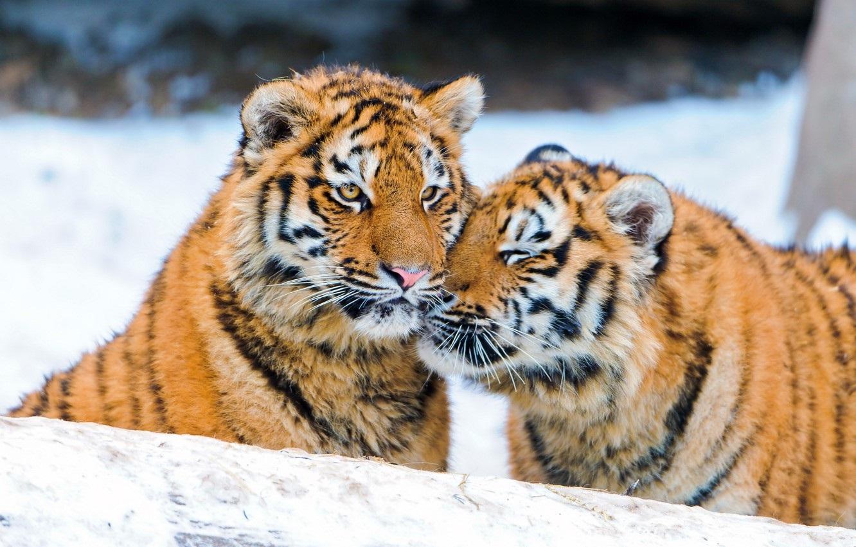 Тигрята на рабочий стол картинки (3)