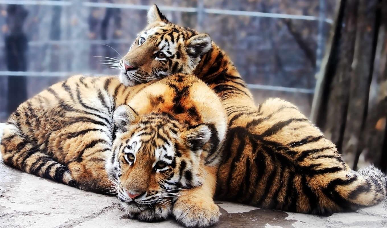 Тигрята на рабочий стол картинки (5)