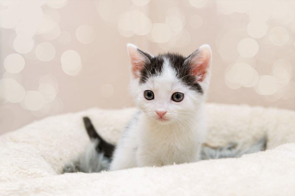 Красивые фото серо белых котят в хорошем качестве (10)
