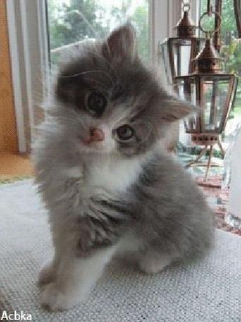 Красивые фото серо белых котят в хорошем качестве (13)