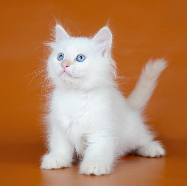 Красивые фото серо белых котят в хорошем качестве (14)