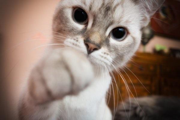 Красивые фото серо белых котят в хорошем качестве (15)