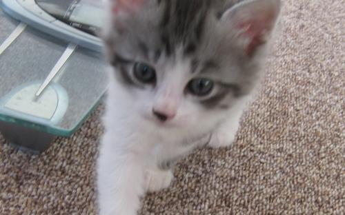 Красивые фото серо белых котят в хорошем качестве (16)