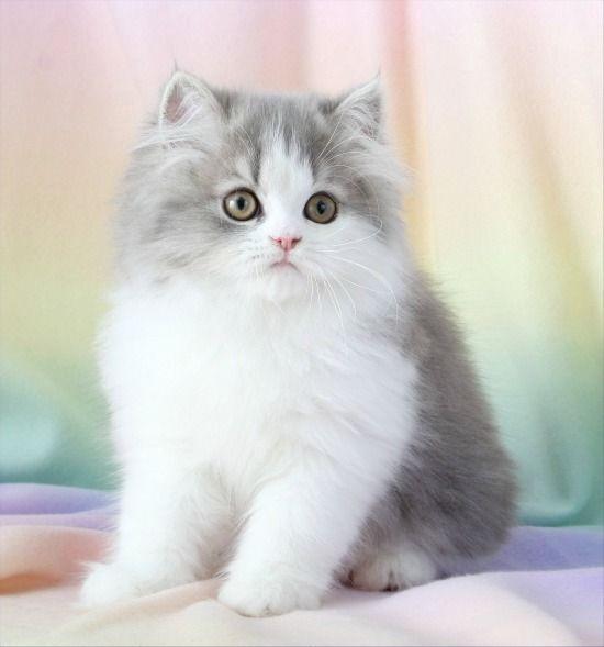 Красивые фото серо белых котят в хорошем качестве (17)