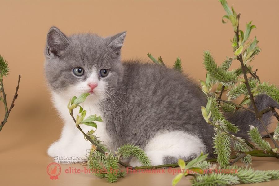 Красивые фото серо белых котят в хорошем качестве (19)