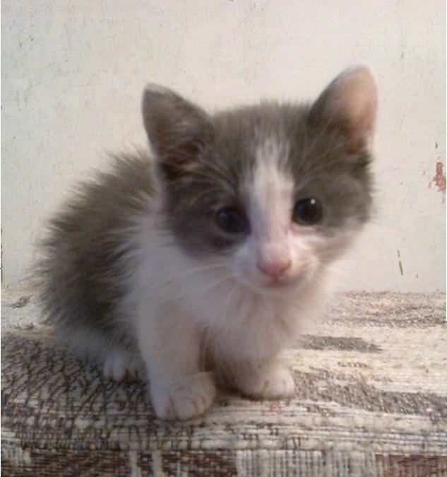 Красивые фото серо белых котят в хорошем качестве (21)