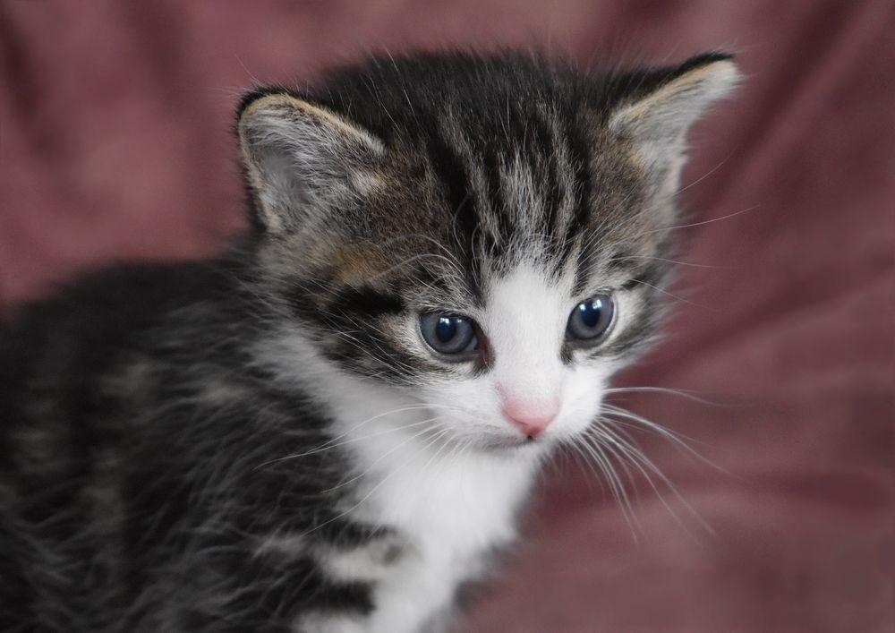 Красивые фото серо белых котят в хорошем качестве (22)