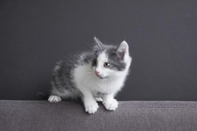 Красивые фото серо белых котят в хорошем качестве (23)