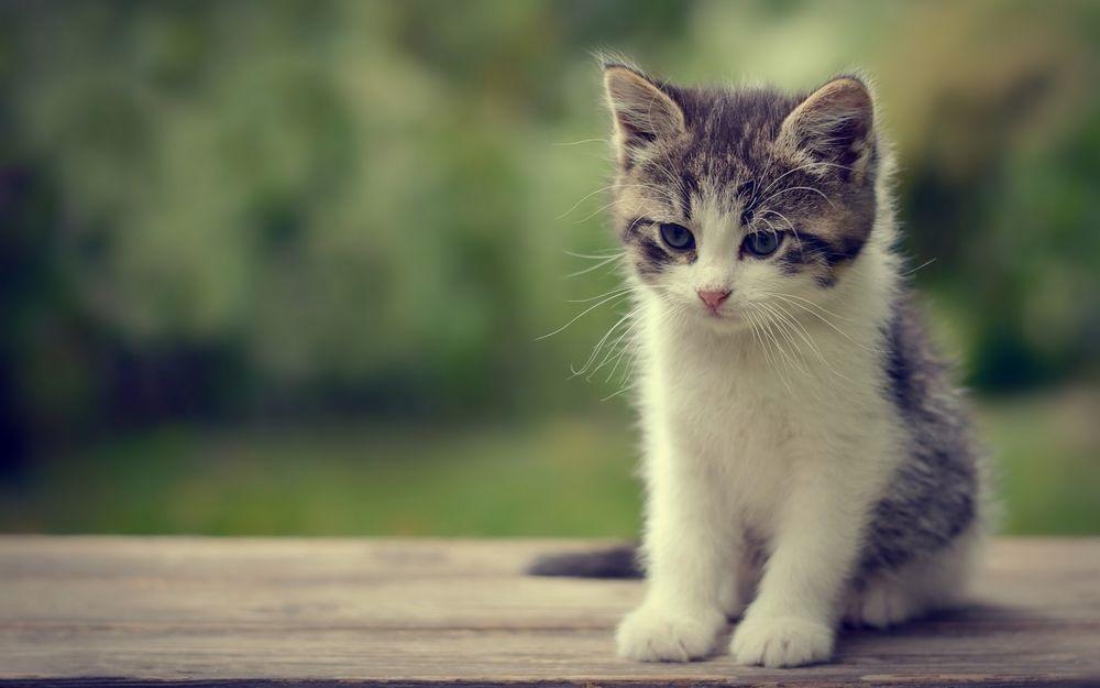 Красивые фото серо белых котят в хорошем качестве (3)