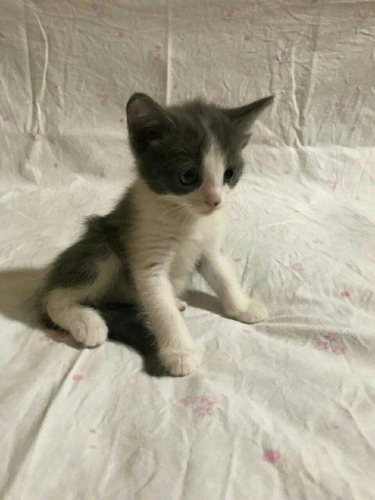 Красивые фото серо белых котят в хорошем качестве (6)