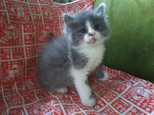 Красивые фото серо белых котят в хорошем качестве (7)