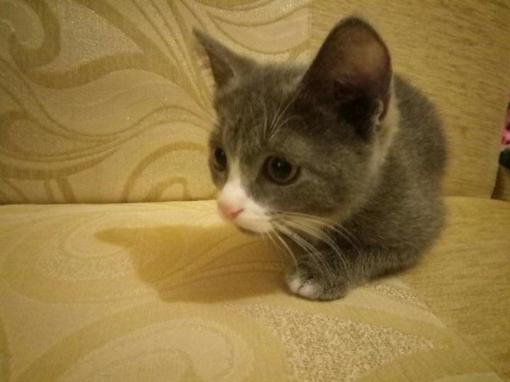 Красивые фото серо белых котят в хорошем качестве (8)